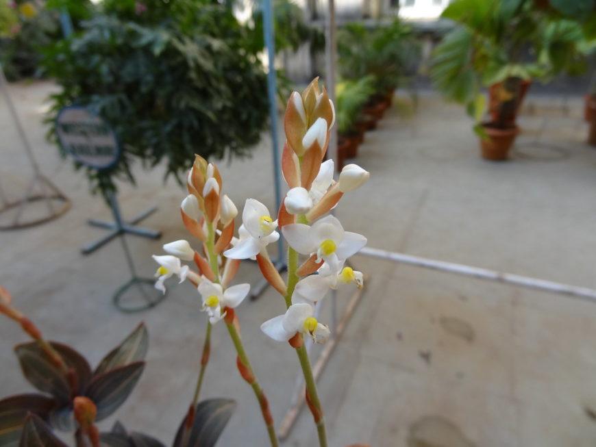 Драгоценная орхидея Лудизия Дисколор