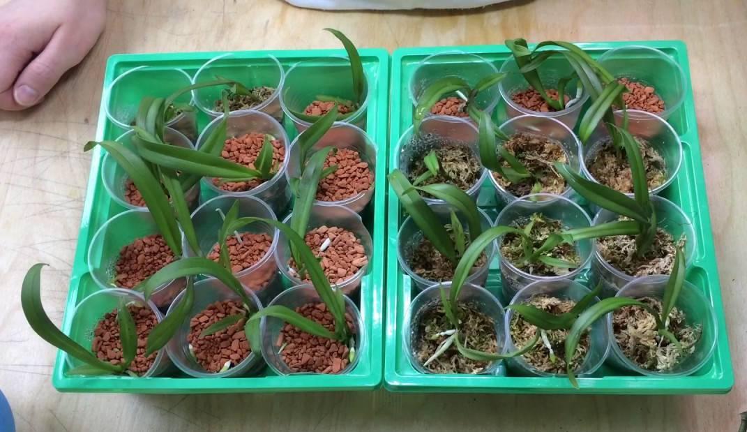 пересадка орхидей в гидропонику, для выращивания над водой