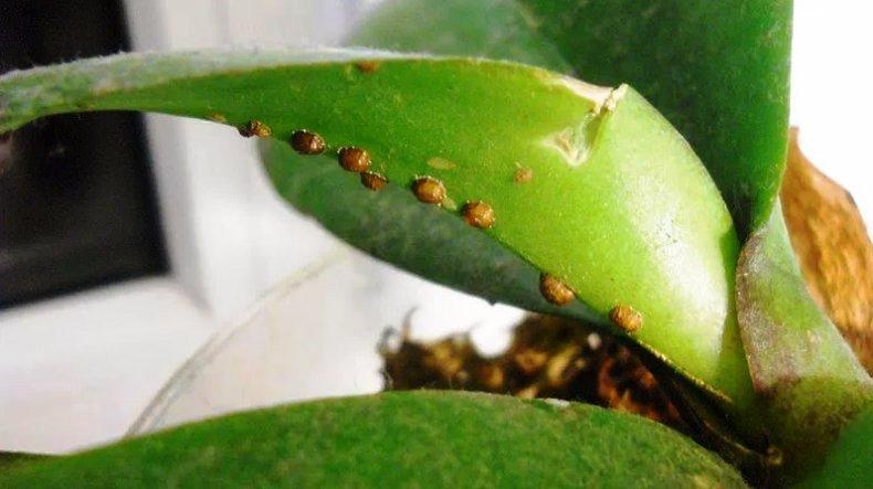 щитовка наносит вред орхидее