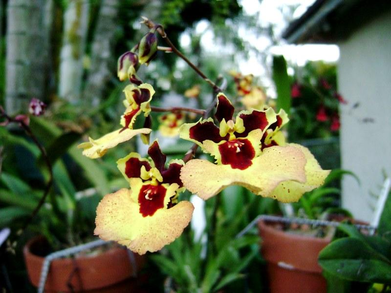 Орхидея Толумния на фото