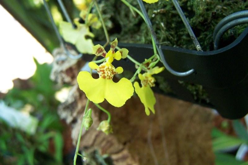 Уход за орхидеей толумнией