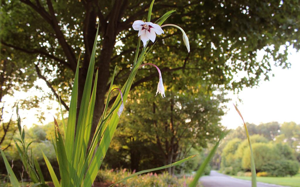 Выращивание ацидантеры в саду, правила посадки