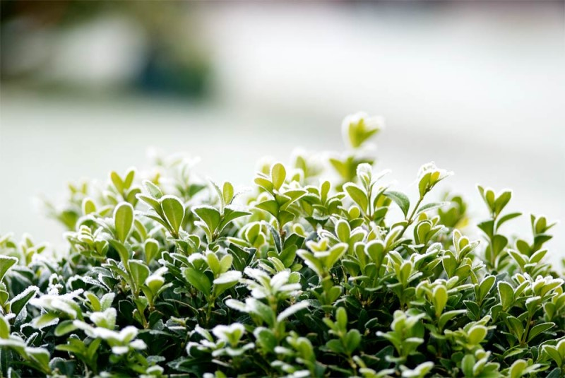 растение бирючина