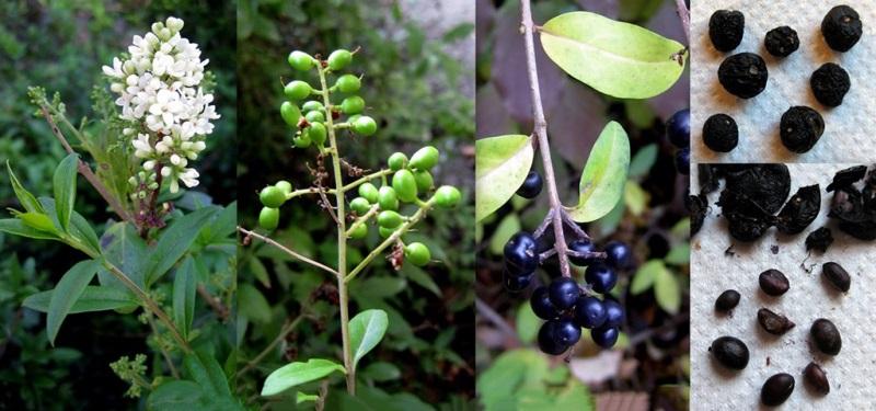 размножение бирючины семенами