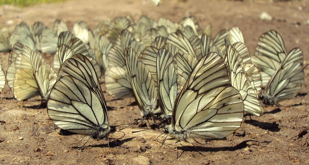 Aporia crataeg - Боярышница
