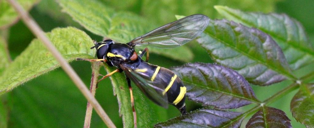 Doros profuges муха живущая с муравьями