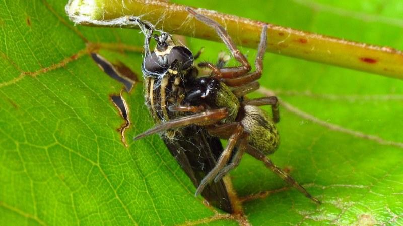 Паук ест журчащую муху