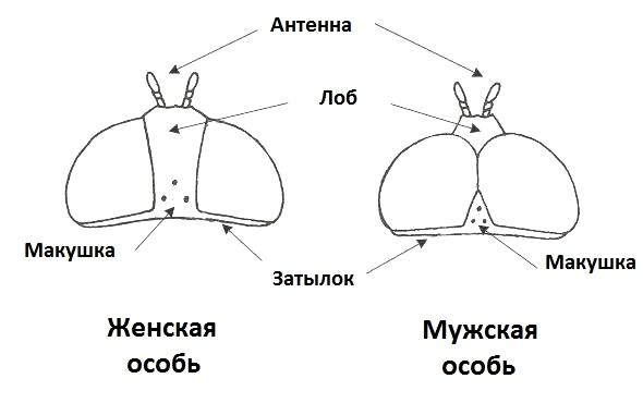 Отличия мужской и женской особи мухи Журчалки