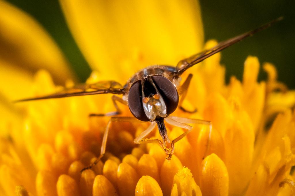 Муха Парящая на цветке