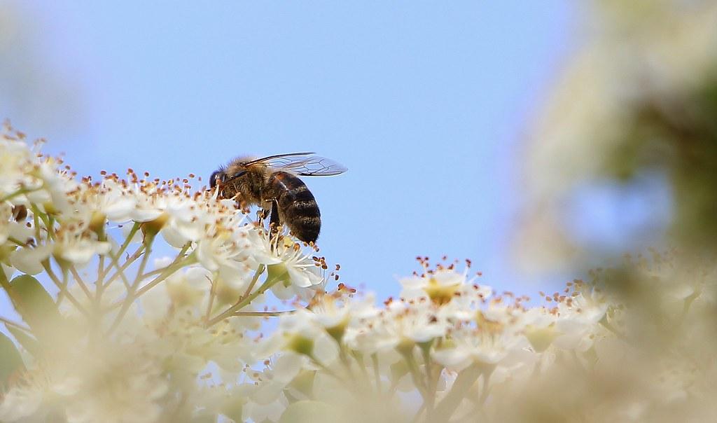 цветы пираканты для пчёл