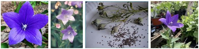 семена платикодона