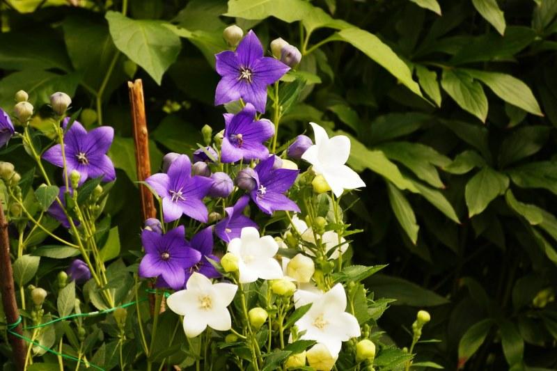 Платикодон уход за растениями