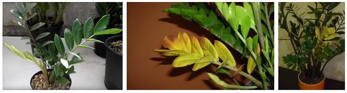 проблемы с листьями замиокулькас