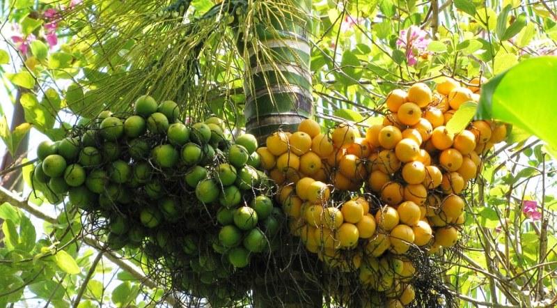 семена пальмы арека