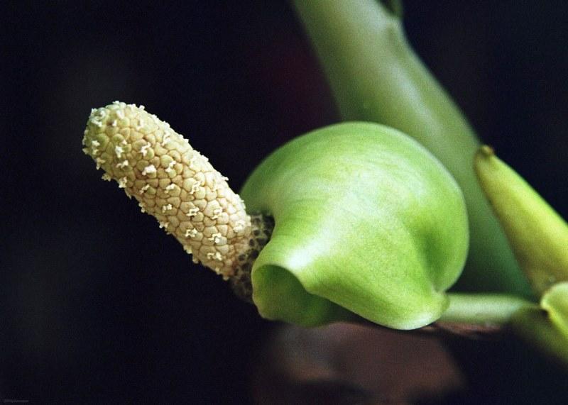 Семена замиокулькас