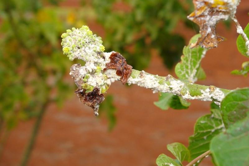 мучнистый червец на растении
