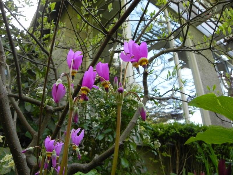 описание растения додекатеон