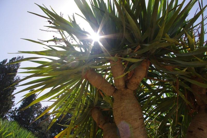 Драценовое дерево