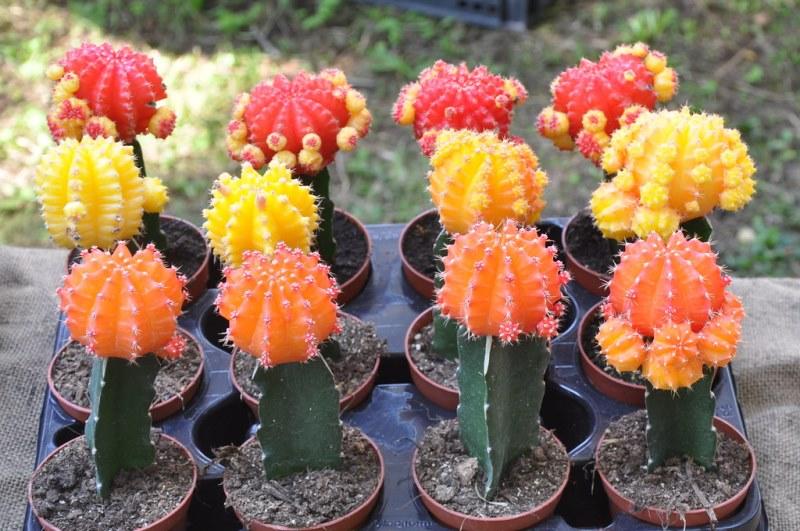кактусы с разными шапками