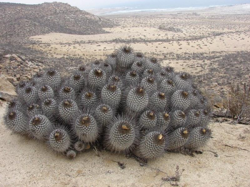 фото пустынного кактуса