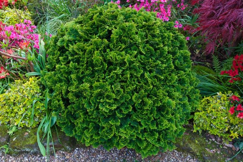 растения соседи кипарисовика