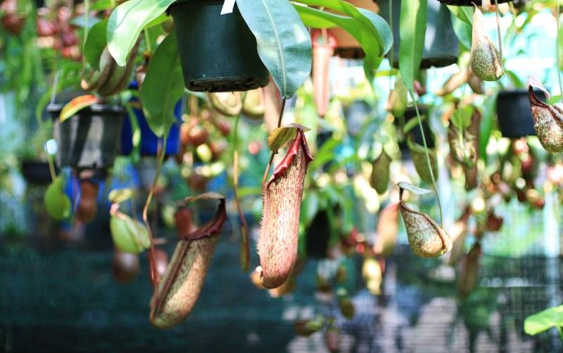 непентес в горшках
