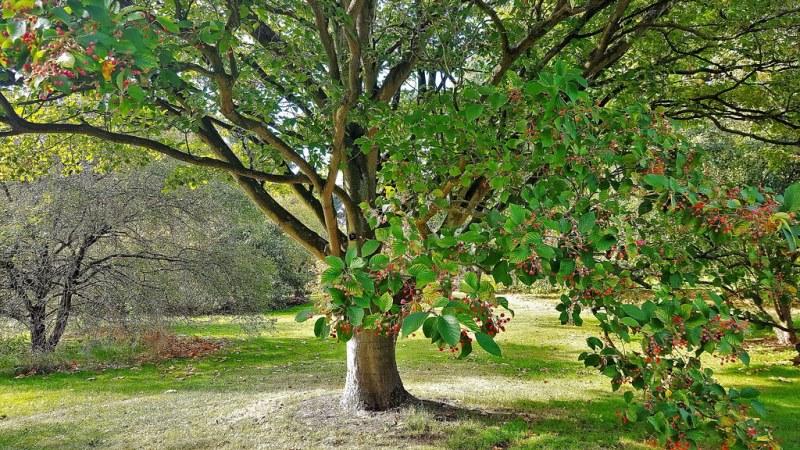 дерево рябина