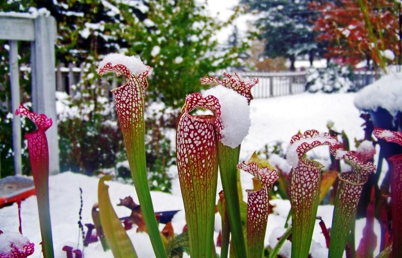 саррацения под снегом