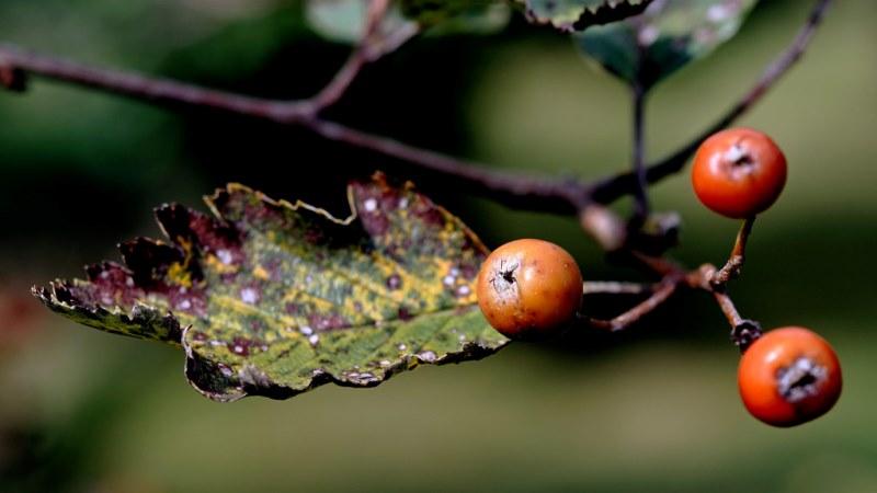 фото рябины ария (Sorbus aria)