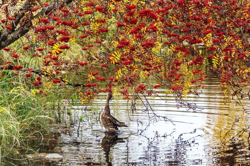 фото Рябина обыкновенная (Sorbus aucuparia)