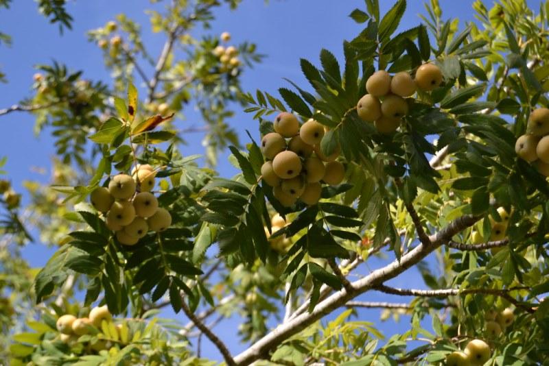фото графия рябины домашней (Sorbus domestica)