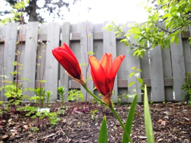 уход за спараксисом в саду