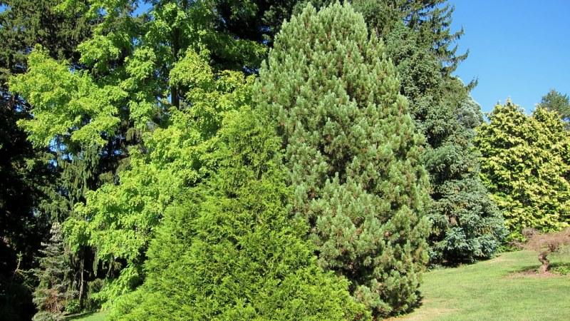 туевик и хвоные растения
