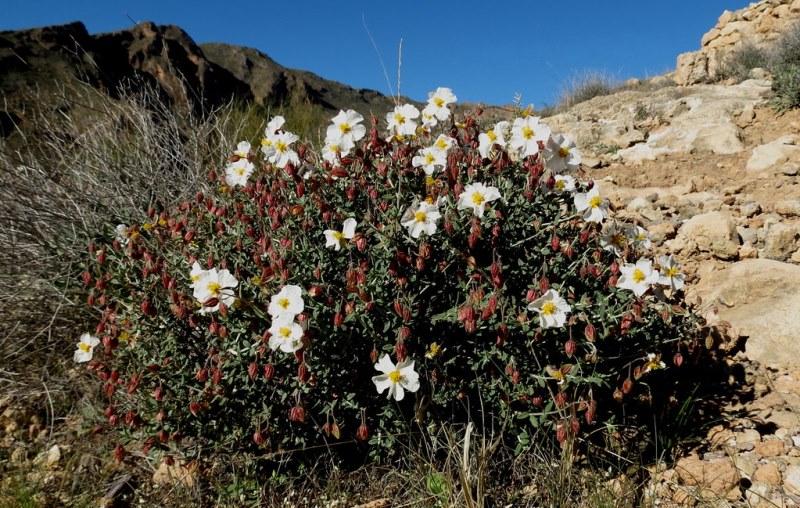 Helianthemum almeriense в скале