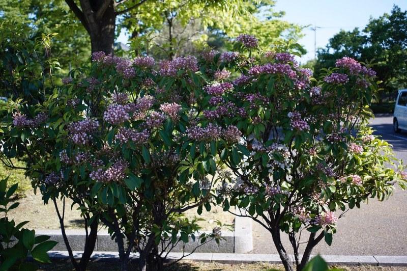 кусты кальмии цветущей