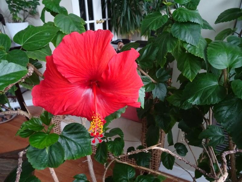 красивый субтропический Гибискус красного цвета