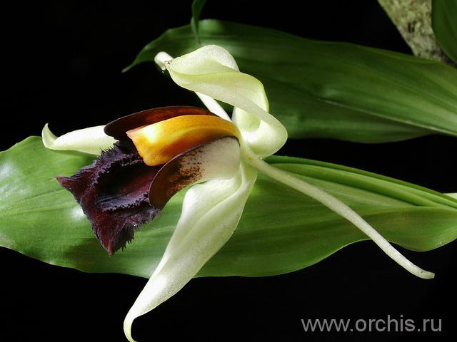Орхидеи Целогины: посадка, выращивание, уход, фото