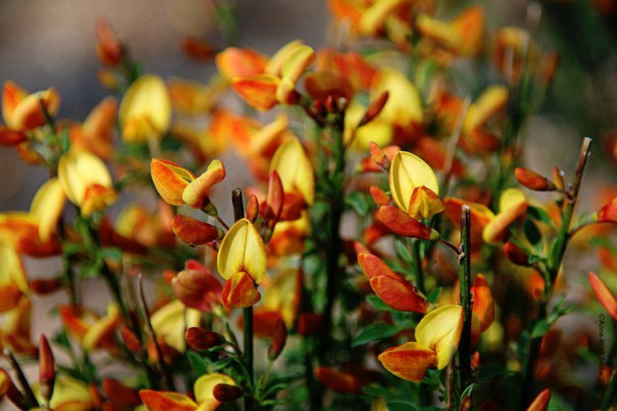 Ракитник описание и фото растения