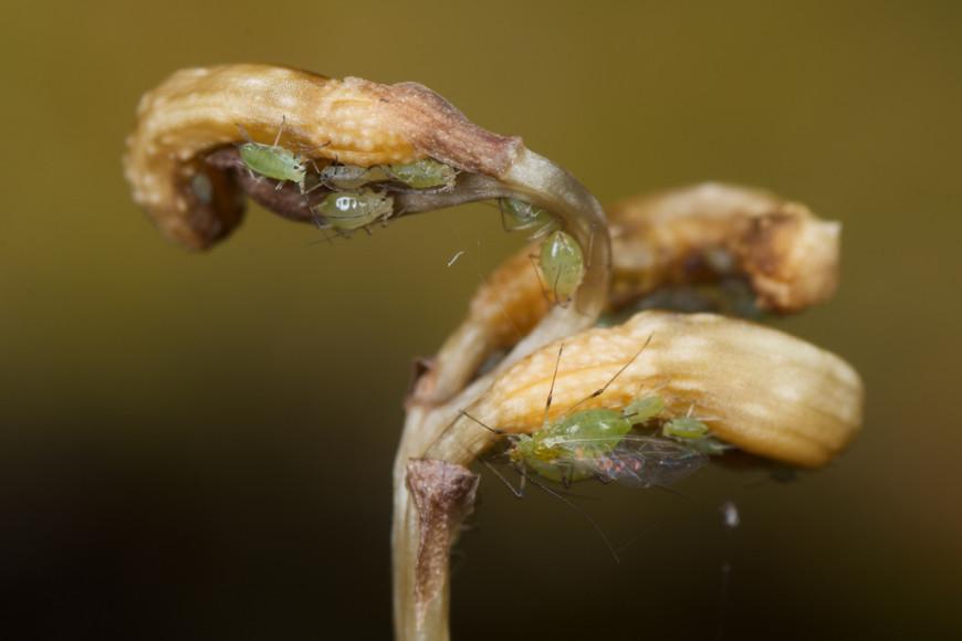 Аттелик от вредителей орхидей: клещи, тля, личинок белокрылки