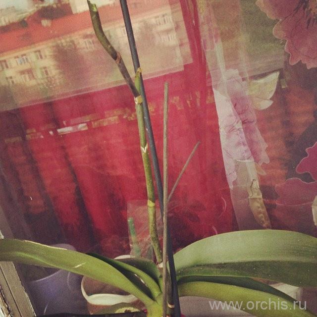не цветет орхидея дома