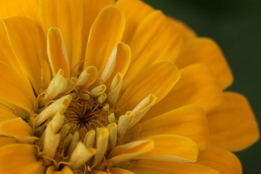 Растение Циния, описание цветка