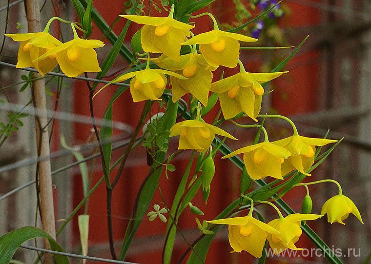 Растение Калохортус (цветок)