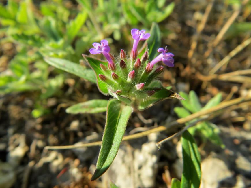 растение зизифора описание и фото