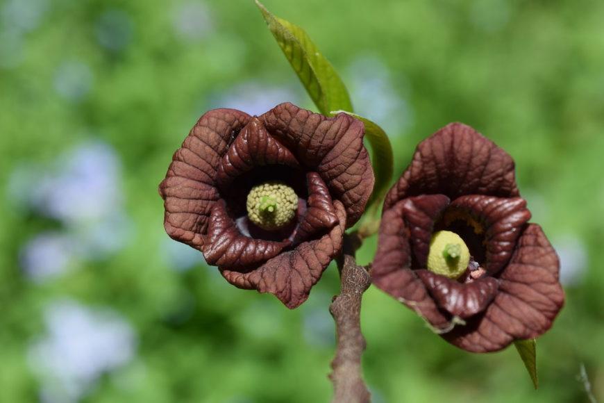 Растение Азимина