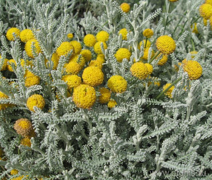 полынь желтая фото крем-хна готовом виде
