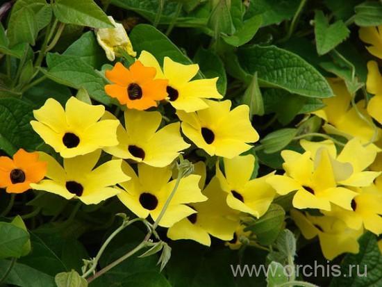 Растение Тунбергия