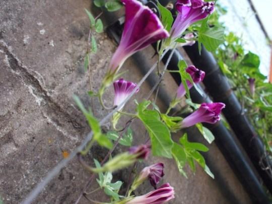 Calystegia растение