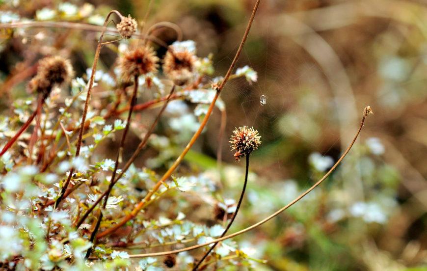 растение ацена описание с фото