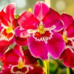 Орхидея Мильтониопсис