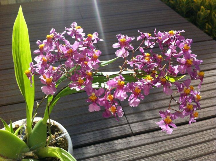 Фото орхидеи Онцидиум